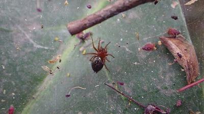 コクサグモの子ども。多分、明治神宮に一番たくさんいるクモ。