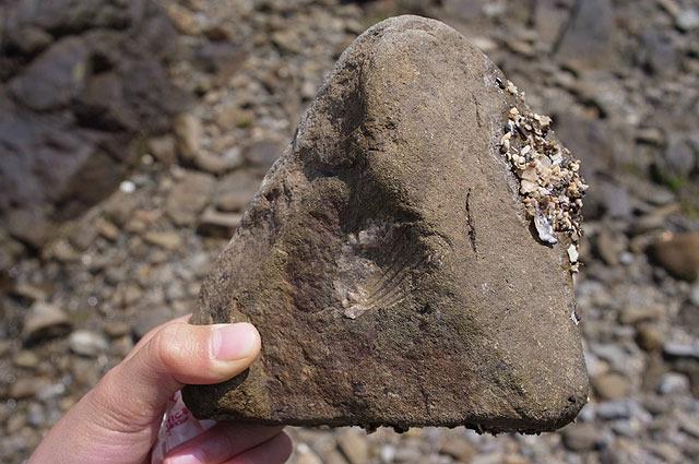石に貝の模様が!娘(小4)が発見。