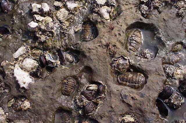 三葉虫の化石みたいなヒザラガイ。このまま化石になるんじゃ?という雰囲気漂う。