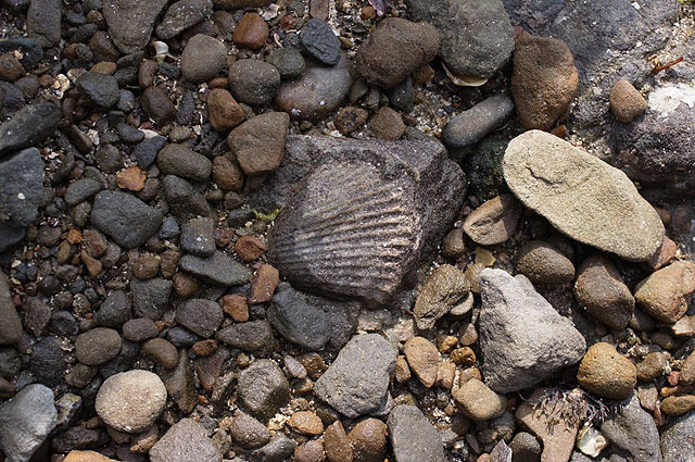 かみさんがさっそく貝の化石をゲット!これまでで一番カタチと大きさがいい。