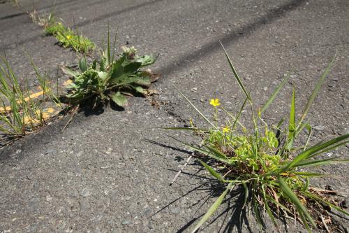 アスファルトの割れ目から植物が顔を出す