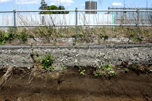 道路下の黒土の断面から、植物が芽吹いていた