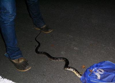 沖縄で一番よく見るヘビ、アカマタ。毒は無いけどものすごくクサい。
