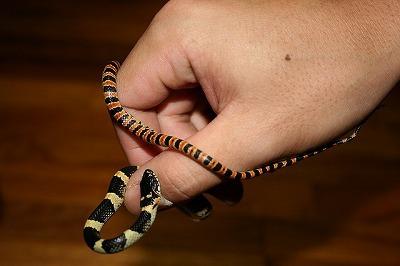 クサいアカマタも子ヘビのうちはこんなにかわいい。クサいけど。
