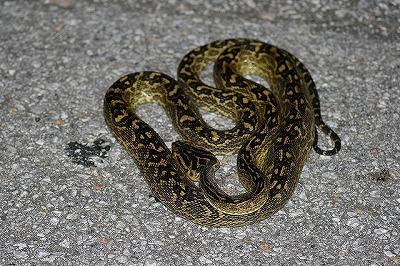 とぐろを巻いているヘビは臨戦態勢なので近付いたり刺激してはいけない。