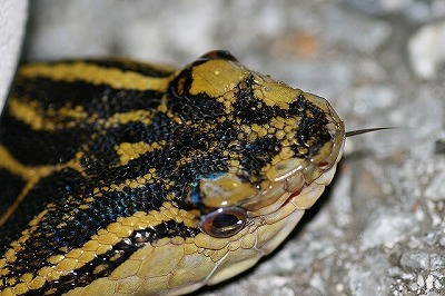 三角形の頭とそれを覆う細かいウロコ、そして派手な模様がいかにも毒ヘビ。