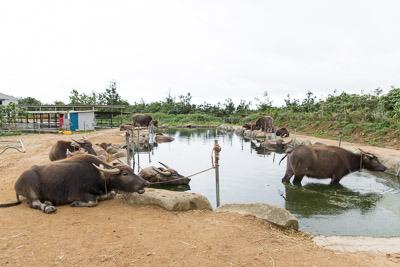 水牛の池にいるのは、休憩中や非番の水牛たち