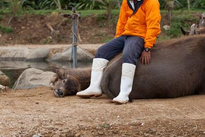 寝転んでいる仔牛の「ゆうき」は生後4ヶ月。野生ではこんな寝方はしないそうだ