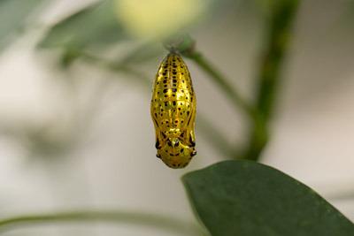 オオゴマダラの蛹は金色