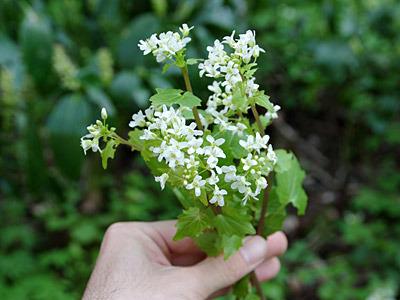 ワサビの花束。君はバラより美しい(食べられるから)。