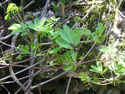 アケビの木がこれだけあるということは、秋に来たらアケビの実が食べ放題なのだろうか。