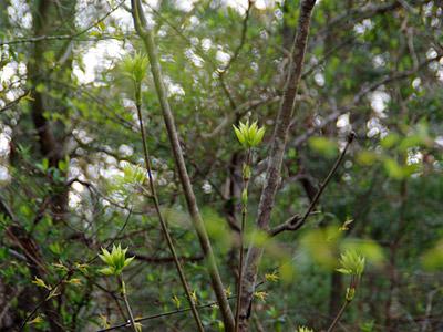 枝の先がモワっとしているのが、コシアブラらしい。