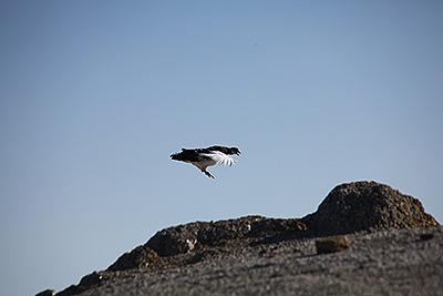 雷鳥のオスが飛んできた。これからメスを奪い合うのだ。