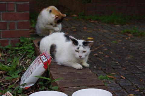 すでに参加してくれる唯一の猫となったシロ。
