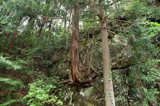 ケヤキかどうかは分からないけど岩から木が生えていた