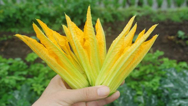 ズッキーニの花。これがおいしいのです。