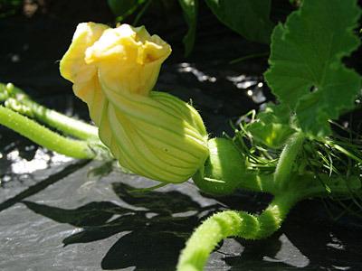 雌花の子房部分は、カボチャだけあってちゃんと丸い。