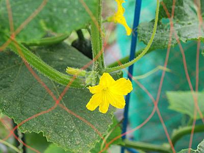 キュウリの花は小さいので食用には向かないようだ。