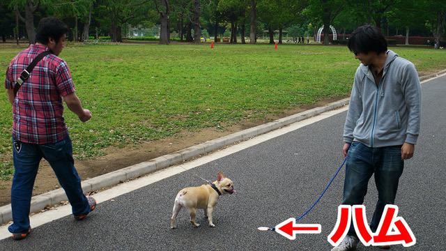 実はハムの散歩をしている