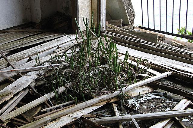 廃屋内でたくましく育っていたサボテン。