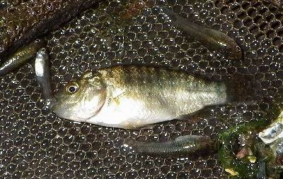 ティラピアという魚の子どもも採れた。これもアフリカ原産の外来魚。