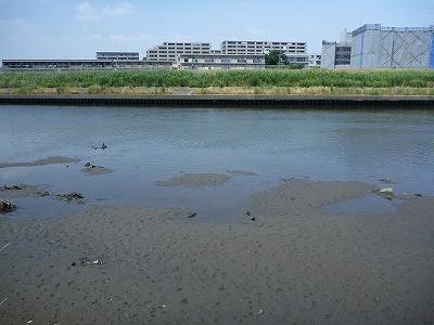 目撃情報が多いのは潮の影響を強く受けるエリアなので、干潮時は水が減ってしまい釣りどころではない。場所だけでなく時間帯も限られるのだ。