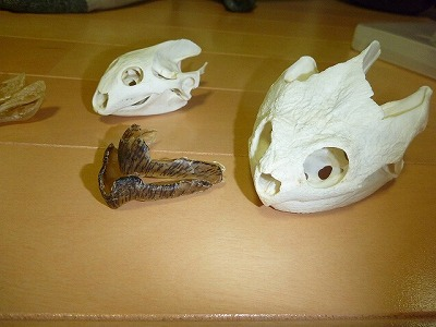 手前に並ぶのが標本となったカミツキガメの頭部骨格とくちばし。奥はスッポン。