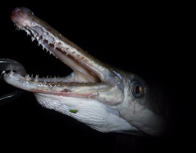 口の中には細かいが鋭い歯が二列に並ぶ。