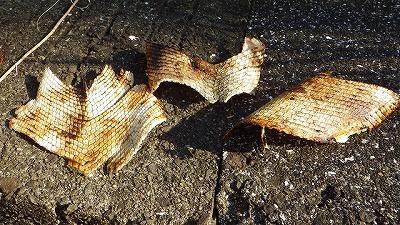 剥いた皮の一部。やはり鱗が特殊すぎて、まったく魚の皮には見えない。