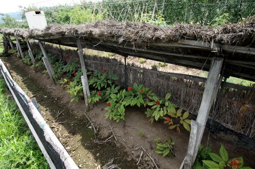 藁で日を遮って栽培しているこれは何だろう