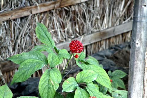 赤い実が付いている。見た事無い作物だ