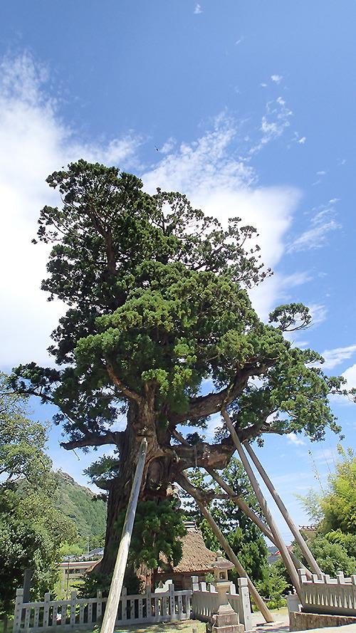 樹齢千数百年という杉。このレベルの杉がアクセスよく見られるのは隠岐の島くらいなのだとか。「屋久島とかだと何時間もトレッキングして杉を見に行くんでしょう。隠岐なら自転車で5分です。」