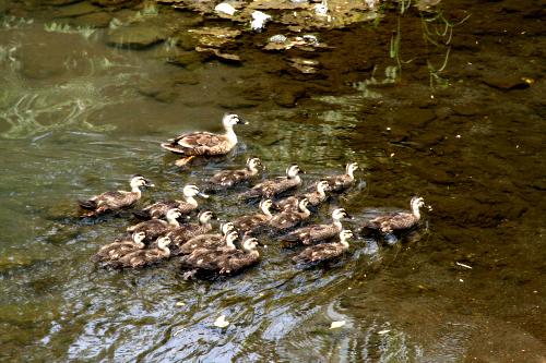 鴨の家族が悠々と泳いでいた