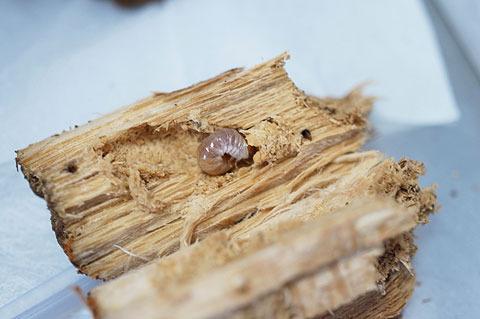 オオクワガタの幼虫。