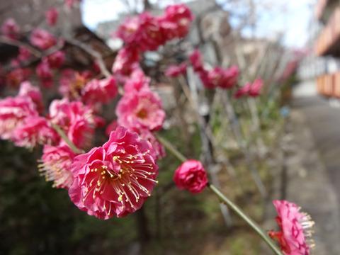梅が咲いていました(現実逃避中) 注:この撮影は2月に行われました