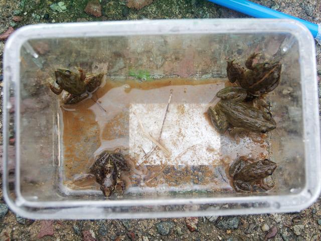 左下がヤマアカガエルで、それ以外がサドガエル。サドガエルには縦にラインが一本入っているタイプがいるようだ。
