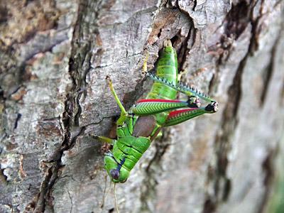 ものすごくかっこいいバッタが産卵していた。フキバッタの仲間かな。小さな羽と足の赤いラインがたまらん。