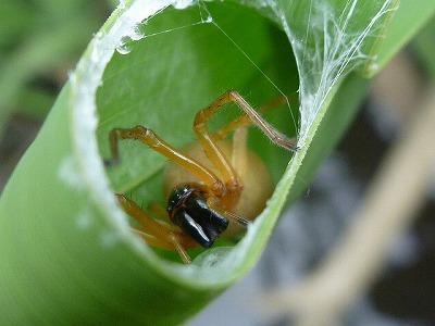 こんなクモ。アシの葉の上を歩いていることも多いので、うっかりはたいたりしないよう注意。
