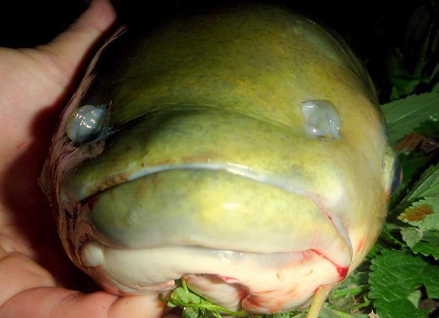 迫力の唇。これでアシの葉を強引にちぎっていたのだ。人間で言うと歯茎だけでスルメを食べるようなものか。