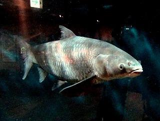 次は四大家魚のひとつである「アオウオ」を見たい。これは草ではなく貝を偏食する魚。