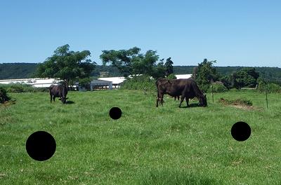 牛が!そして彼らのフレッシュなモノが!