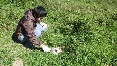 乾いた牛糞を地面からはがすように掘る。