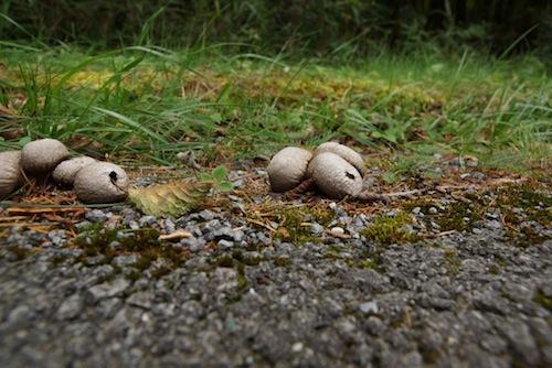 道路沿いの地面にはキツネのチャブクロ(たぶん)。胞子を粉のように噴出する。