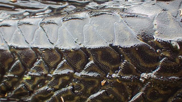 隙間なく敷き詰められた厚く硬い鱗。これでもちゃんと体をくねらせて泳げるのだからすごい。