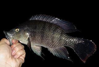 プレコ以上に沖縄になじんでしまっているのがこのティラピアという魚。次はお前の番な。