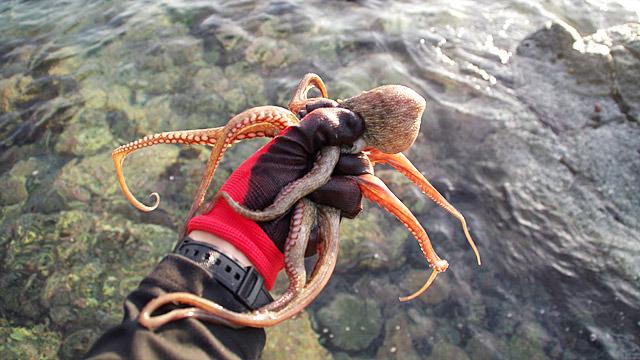 粟島という日本海の離島で毎年行われている、タコを捕まえる大会に出場してきました。