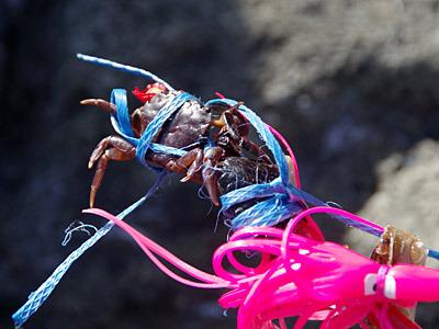 仕方がないので、その場でカニを捕まえて、落ちてた紐で縛り付けるDIY作戦。