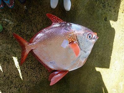 アカマンボウ。マンボウと名が付くが、実はリュウグウノツカイに近い深海魚。マグロによく似た赤身で美味。
