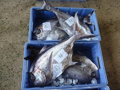 ヒレジロマンザイウオという魚が大量に。そのままの姿で魚屋に並んでいるのは見たことが無いので、切り身やすり身に加工されてから出回るのだろう。