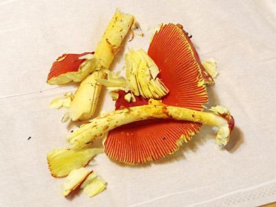 タマゴタケはとても崩れやすいので、どんなに美しくて美味しくても、なかなか流通は難しいようだ。